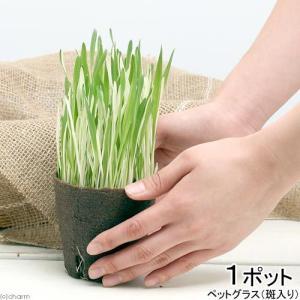 (観葉植物)斑入り ペットグラス 直径8cmECOポット植え(無農薬)(1ポット) chanet
