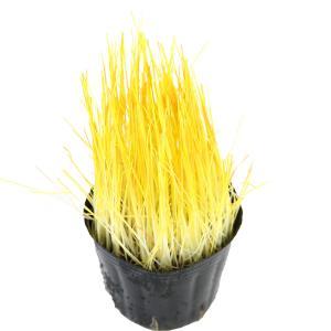 (観葉植物)不思議な食感 やみつきイタリアンライグラス 直径8cmECOポット植え(無農薬)(1ポット) 猫草|chanet