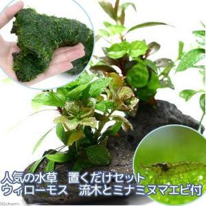 (エビ)(水草)人気の水草 置くだけセット ウィローモス 流木とミナミヌマエビ付 北海道航空便要保温