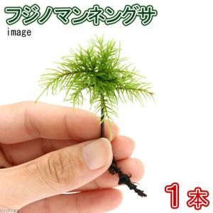 (観葉植物/苔)フジノマンネングサ(無農薬)(1本)