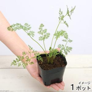 ※6ヶ月未満のペットには与えないで下さい。 本品は葉が出た状態での発送となります。自分で育てる手間が...