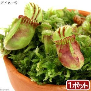 (食虫植物)セファロタス フォリキュラリス 3号(1鉢)|chanet