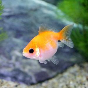 (国産金魚)ピンポンパール(1匹)