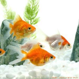 (国産金魚)玉サバ 当歳 山古志産(1匹)
