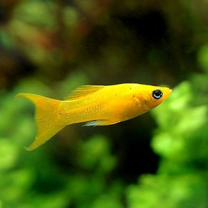 (熱帯魚)ブラッドオレンジライヤーテールモーリー(4匹) 北海道・九州・沖縄航空便要保温