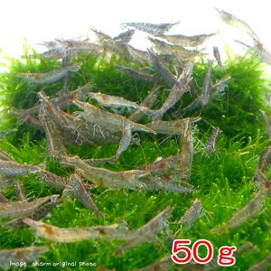 (エビ)ミナミヌマエビ(50g) 半分未満死着は保証なし 北海道・九州航空便要保温