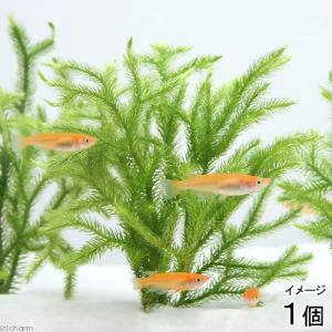 (水草)メダカの産卵用 ヒカゲノカズラ(日陰蔓)...の商品画像