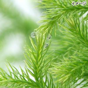 (水草)メダカの産卵用 ヒカゲノカズラ(日陰蔓...の詳細画像2