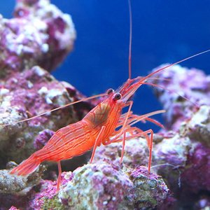 (海水魚 エビ)ペパーミントシュリンプ(ワイルド...の商品画像