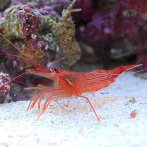(海水魚 エビ)ペパーミントシュリンプ(ワイル...の詳細画像1
