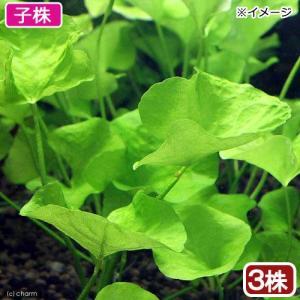 (水草)ニムフォイデスsp.タイワン トロピカ 子株(無農薬)(3株)