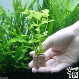 (水草)ライフマルチ(茶) ドルマリアコルダータ(無農薬)(1個)