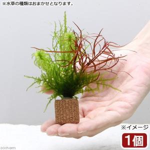 メーカー:草■0〜30 メーカー品番: 熱帯魚 _aqua 水草 鉢植え水草 20161207 YT...