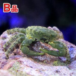 (海水魚 カニ)(B品)エメラルドグリーンクラブ(1匹) 北海道航空便要保温