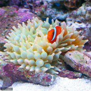 (海水魚 無脊椎)サンゴイソギンチャク Lサイ...の詳細画像2