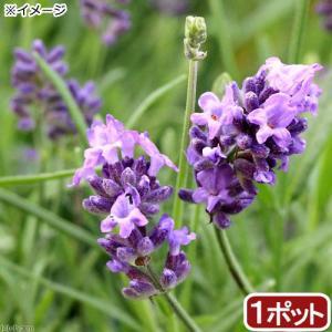 (観葉植物)ハーブ苗 ラベンダー 二季咲き長崎ラベンダー リトルマミー 3号(1ポット) 家庭菜園