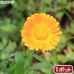 (観葉植物)ポットマリーゴールド(カレンデュラ) 3号(1ポ...