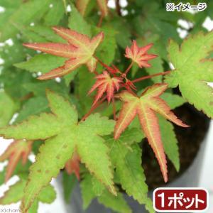 (山野草)盆栽 品種系モミジ 清姫(キヨヒメ) 3号(1ポット) (休眠株)