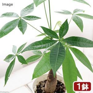 (観葉植物)パキラ 4号(1鉢) 北海道冬季発送不可