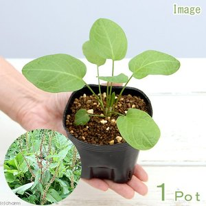 (観葉植物)ペットリーフ ギシギシの苗 3号(無農薬)(1ポット)ぎしぎしの苗 羊蹄 うさぎ 鳥 リクガメ おやつ chanet