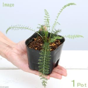 (観葉植物)ペットリーフ ヤロウの苗 セイヨウノコギリソウ 3号(無農薬)(1ポット)うさぎ 鳥 リクガメ おやつ chanet