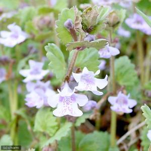 里山の春を彩る紫の花! カキドオシは里山の草原や畦に見られるシソ科の植物です。海外では古くからハーブ...