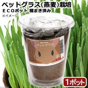 (観葉植物)種まき済み ペットグラス栽培 ECOポット 燕麦...