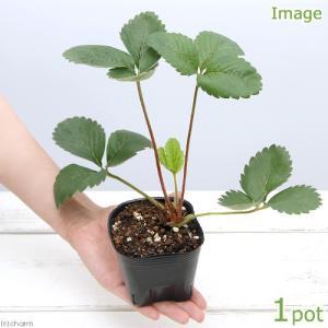 (観葉植物)ペットリーフ イチゴの苗 3号(無農薬)(1ポット)苺の苗 うさぎ リクガメ おやつ chanet