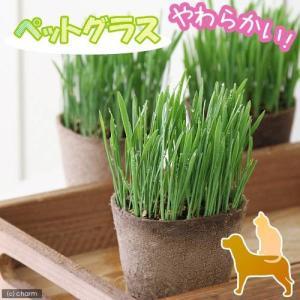 (観葉植物)ペットグラス 燕麦 直径8c...
