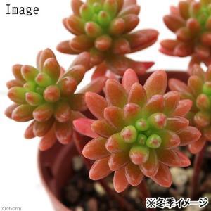 ぷっくりとした姿が愛らしい! セダムは暑さ、寒さ、乾燥に強く、葉も可愛らしいため大変人気の多肉植物で...