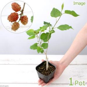 (盆栽)クワの苗(桑) 雌木苗 品種おまかせ マルベリー 3〜4.5号(1ポット)