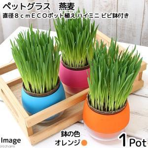 (観葉植物)ペットグラス 猫草 燕麦 直径8cmECOポット植え(無農薬)(ハイミニ ビビ鉢付き・オレンジ) 北海道冬期発送不可|chanet