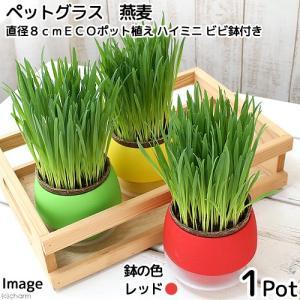 (観葉植物)ペットグラス 猫草 燕麦 直径8cmECOポット植え(無農薬)(ハイミニ ビビ鉢付き・レッド) chanet