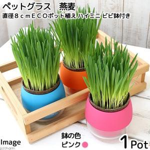 (観葉植物)ペットグラス 猫草 燕麦 直径8cmECOポット植え(無農薬)(ハイミニ ビビ鉢付き・ピンク) chanet