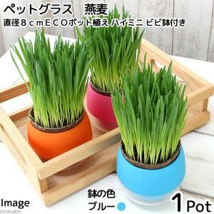 (観葉植物)ペットグラス 猫草 燕麦 直径8cmECOポット植え(無農薬)(ハイミニ ビビ鉢付き・ブルー) chanet