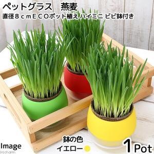 (観葉植物)ペットグラス 猫草 燕麦 直径8cmECOポット植え(無農薬)(ハイミニ ビビ鉢付き・イエロー) chanet