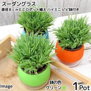 (観葉植物)スーダングラス 猫草 直径8cmECOポット植え(無農薬)(ハイミニ ビビ鉢付き・グリーン)|chanet