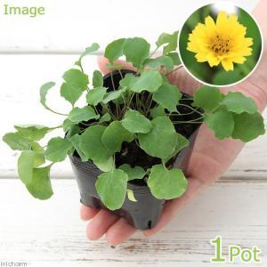 (観葉植物)ペットリーフ ジシバリの苗 3号(無農薬)(1ポット) うさぎ 鳥 リクガメ おやつ chanet