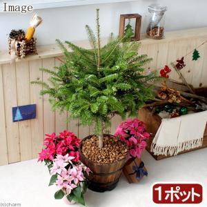 (観葉植物)もみの木とウッドバレルプランターのお買い得セット 2個口送料無料 沖縄別途送料 chanet