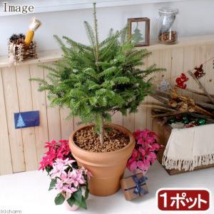 (観葉)もみの木とイタリア製テラコッタ鉢のお買い得セット おまけ付き 2個口送料無料 沖縄別途送料|chanet