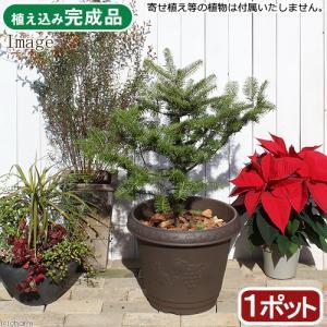 (観葉植物)同梱不可・中型便手数料 本物のもみの木 ウラジロモミノキ クレストプランター植え ブラウン(1鉢) 才数180 chanet