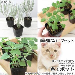 (観葉植物)ハーブ苗 猫が喜ぶハーブセット (お買い得3ポットセット)(各1ポット)家庭菜園|chanet