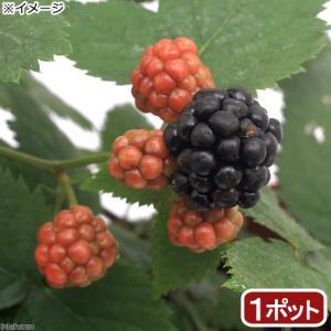 (観葉植物)果樹苗 ブラックベリー トリプルクラウン 3号(1ポット) 家庭菜園
