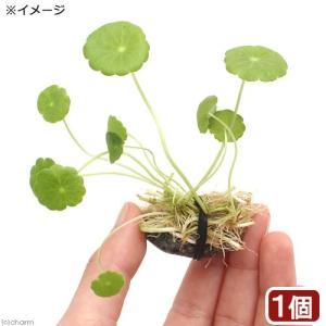 (水草)石付 ミニマッシュルーム(水上葉)(無農薬)(1個) 北海道航空便要保温