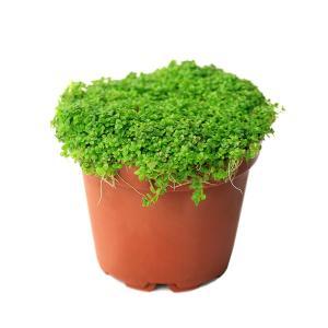 (水草)キューバパールグラス(水上葉) 鉢植え(無農薬)(1鉢) 北海道航空便要保温