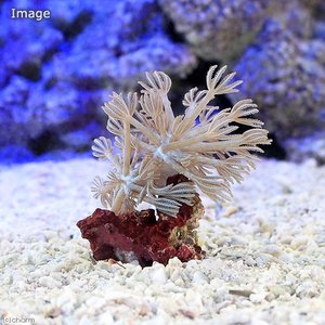 (サンゴ)沖縄産 シロスジウミアザミ Sサイズ(パクパク)(1個) 北海道・九州航空便要保温|chanet