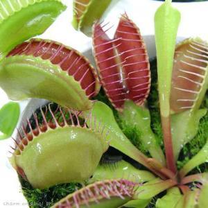 (食虫植物)ハエトリソウ 3号(1ポット)|chanet