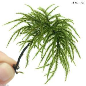 (観葉植物)苔 コウヤノマンネングサ(無農薬)(3本)