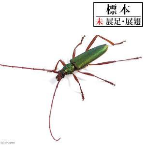 (昆虫)標本 アカアシオオアオカミキリ 標本(未展足)(1匹)|chanet