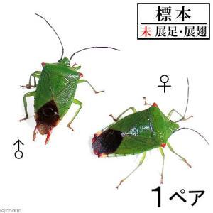(昆虫)標本 ハサミツノカメムシ 標本(未展足)(1ペア)|chanet